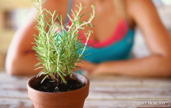 rozmaring gyógynövények fogyás